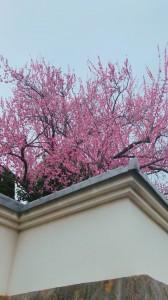 梅がきれい