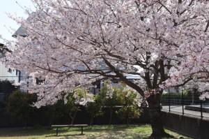 桜 満開 お花見